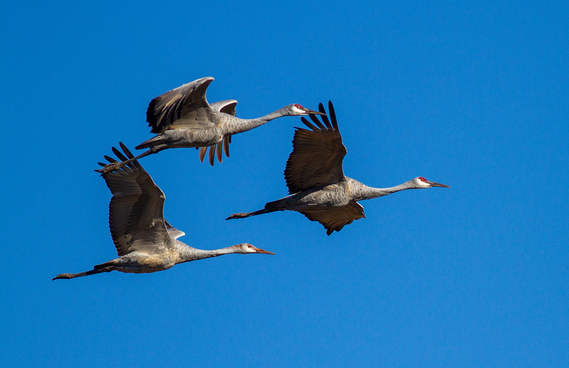Sandhill Crane Sherburne National Wildlife Refuge Sherburne County MN IMG_5223.jpg