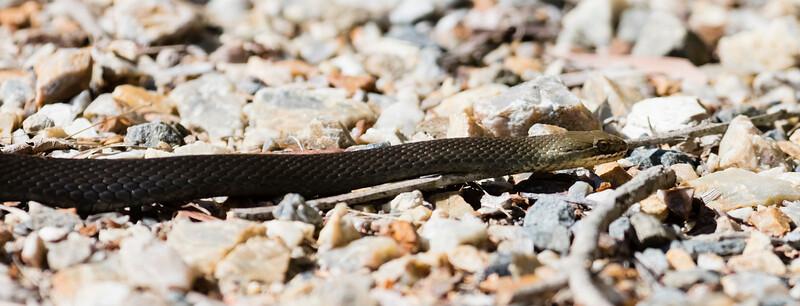 Black-bellied Swamp Snake