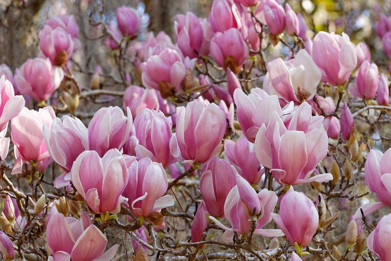 Oriental magnolia (Magnolia liliiflora)