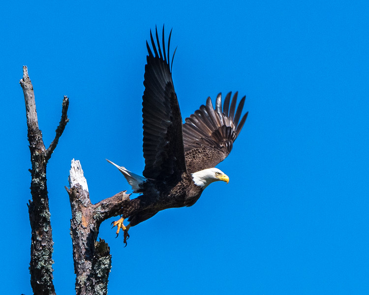Bald Eagle - Leaving the Branch