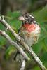 0050 - Backyard Birds 2014-35A