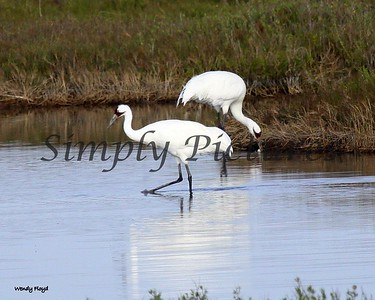 Seagulls, Pelicans and Whooping Cranes