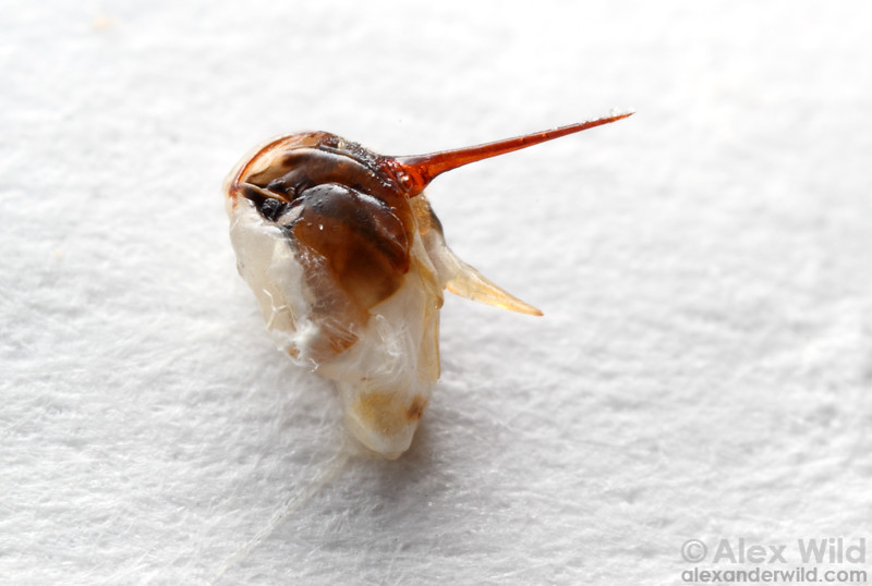 The most feared part of the bee: the stinger, with associated venom sac and accessory glands.