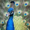 Peacock from the @calgaryzoo