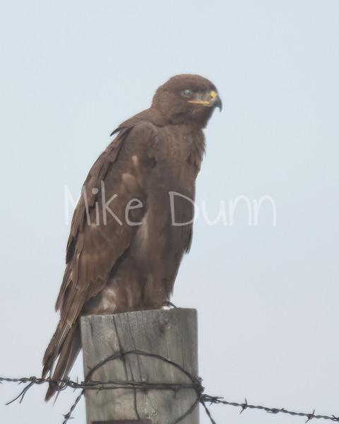 Ferruginous Hawk-92