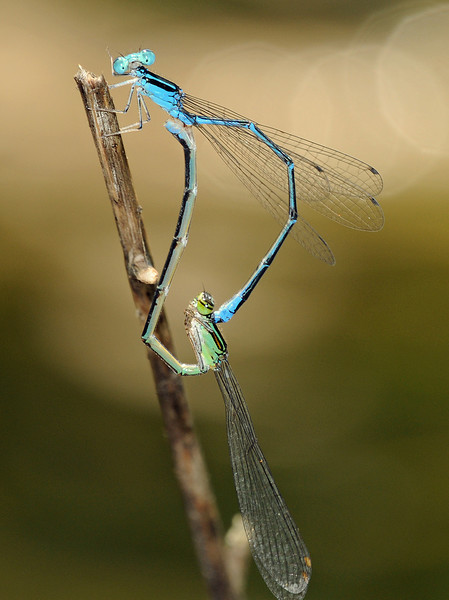 Enallagma exsulans (Stream Bluet), GA