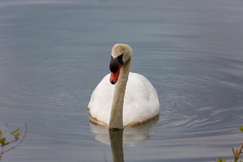 mute swan_-46.JPG
