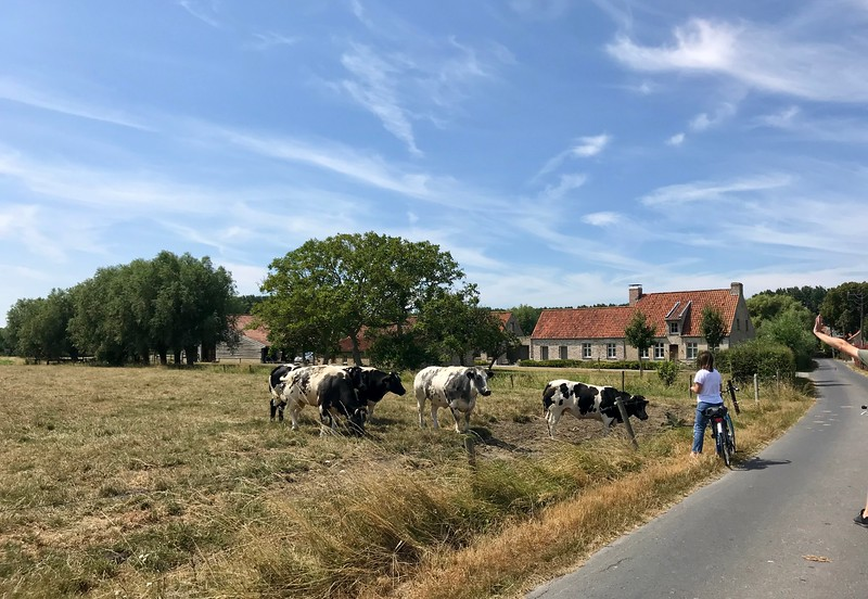 """Crazy huge """"Belgian Blue"""" cows.  They have to give them C-sections because they can't deliver their babies naturally!"""