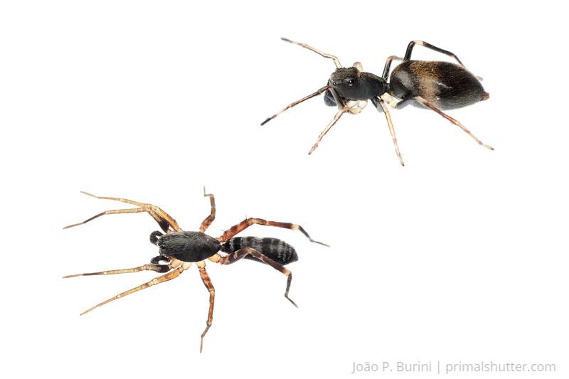 Ant mimic spiders (Salticidae & Corinnidae) Ribeirão Grande, Brazil Tropical rainforest October 2012
