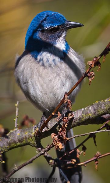 Blue Jay-7635.jpg
