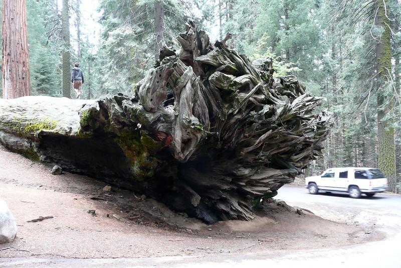 Fallen Tree. Sequoia NP
