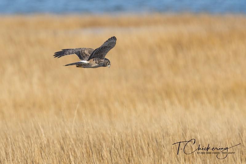 Northern Harrier in Flight Two.jpg