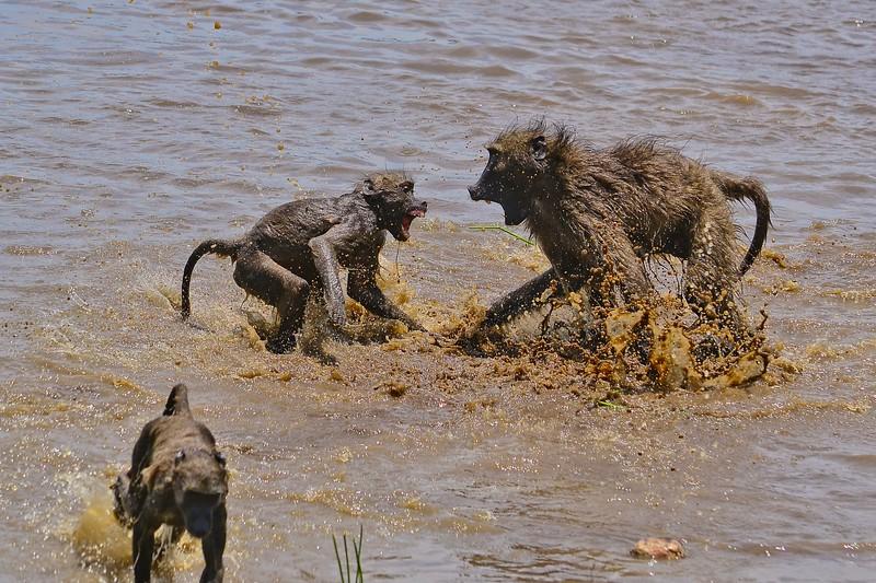 Chacma Baboon Fighting.jpg