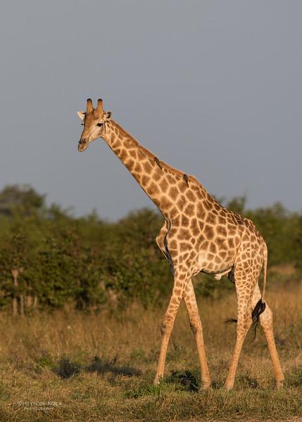 Southern Giraffe, Savuti, Chobe NP, Botswana, May 2017-2.jpg