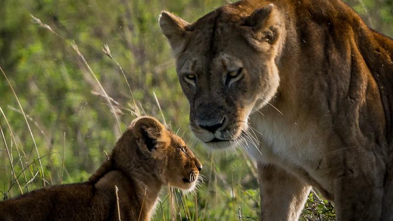 Lions-0101-2.jpg