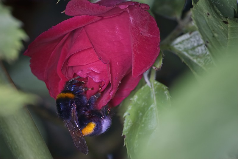 Bumblebee on a rose
