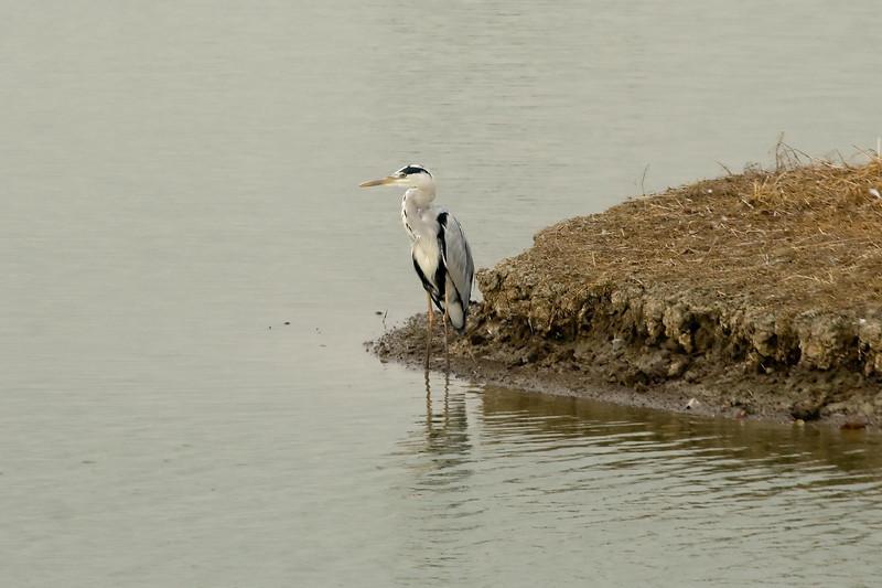 Gray Heron (2) at Mai Po, Hong Kong, China (11-8-08).psd