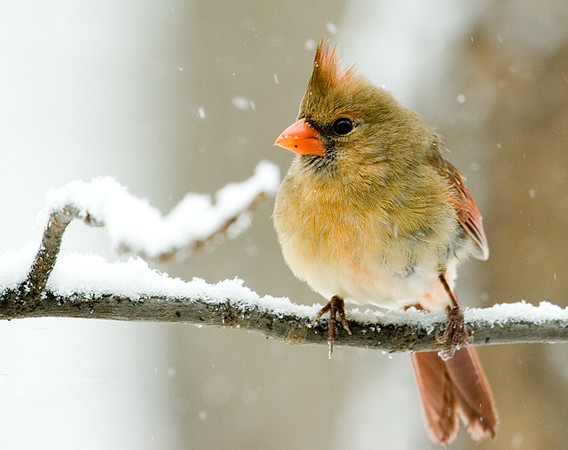 northern-cardinal-4_5086954844_o.jpg
