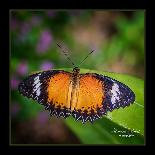 sm Orange Black and white butterfly closeup.jpg