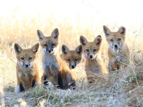 North Livermore Foxes May June 2018