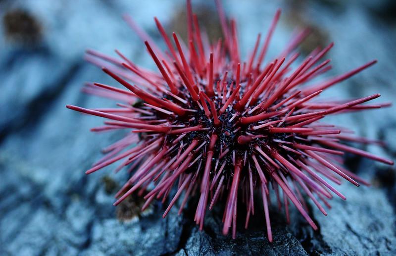 red urchin.jpg