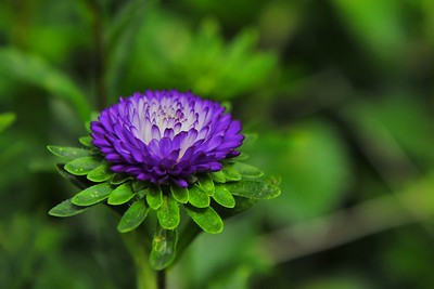 Purple Chrysanthemum, Cameron Highlands
