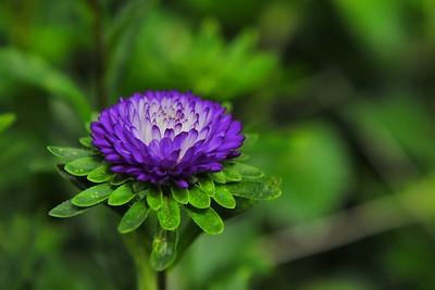 Purple Chrysanthemum, Cameron Highlands