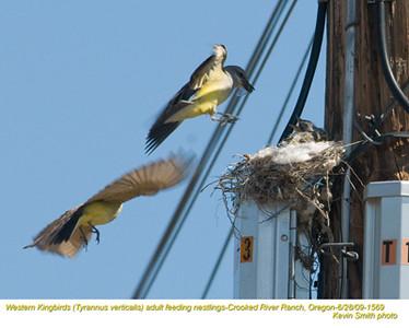 WesternKingbirdsA&N1569.jpg