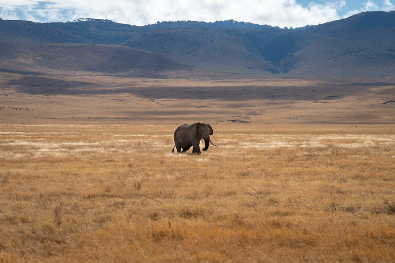 Lone elephant in the Ngorongoro Crater