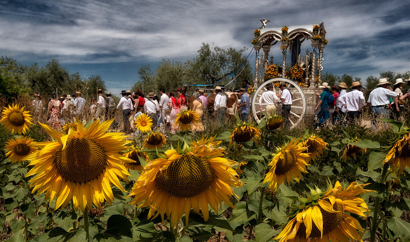 hermandad passing through a field of sunflowers,El Rocio,andalucia,spain.jpg