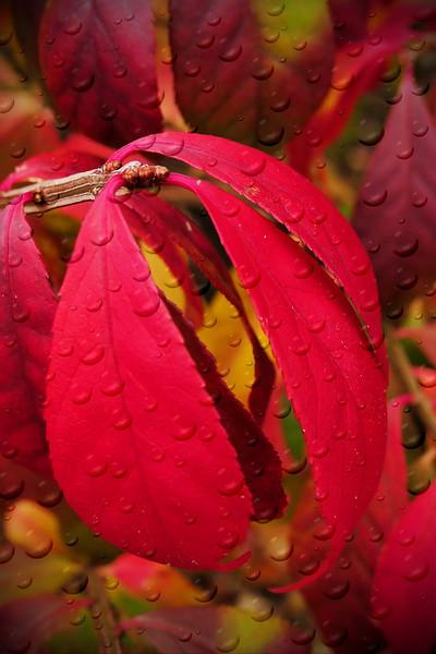 Red leaves.jpg
