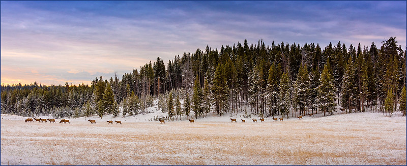 106.Jim Shane.1.Elk Morning Commute.jpg