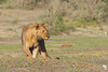 Lake Masek lion