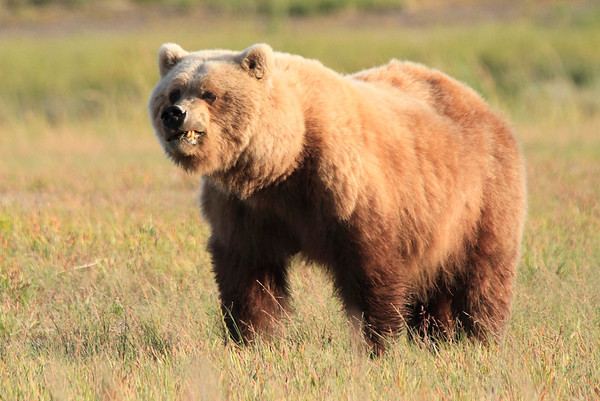 Brown Bears Silver Salmon Creek Alaska 2012