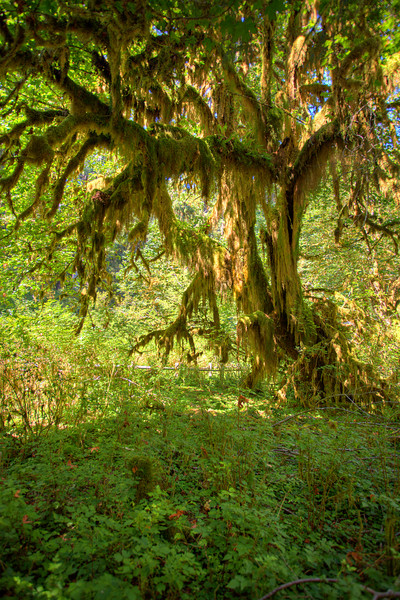 Hoh Rain Forest - Aug. 2007