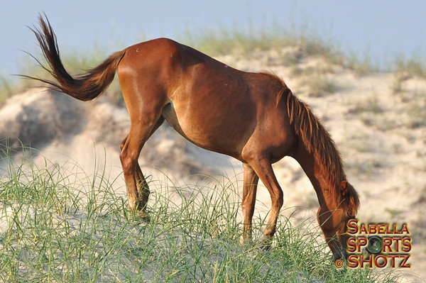 The Wild Horses of Corolla - Outer Banks, NC