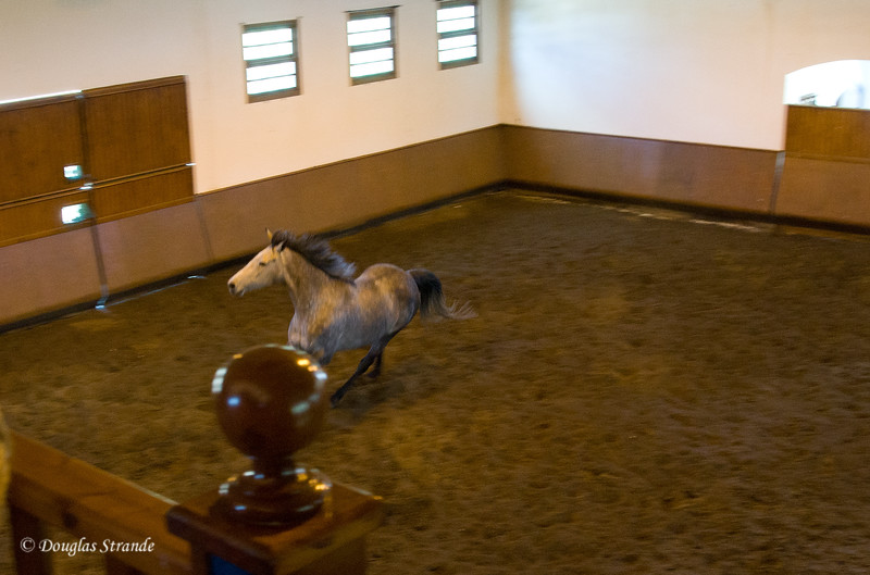 Wed 3/16 at the horse-breeding farm: Andalusian in training