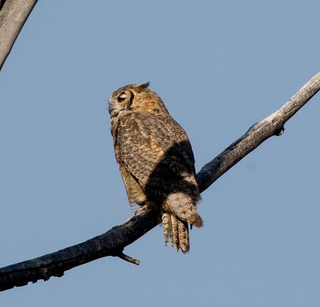 Great-horned Owl  Decahmbeau Ponds 2015 08 24-1.CR2