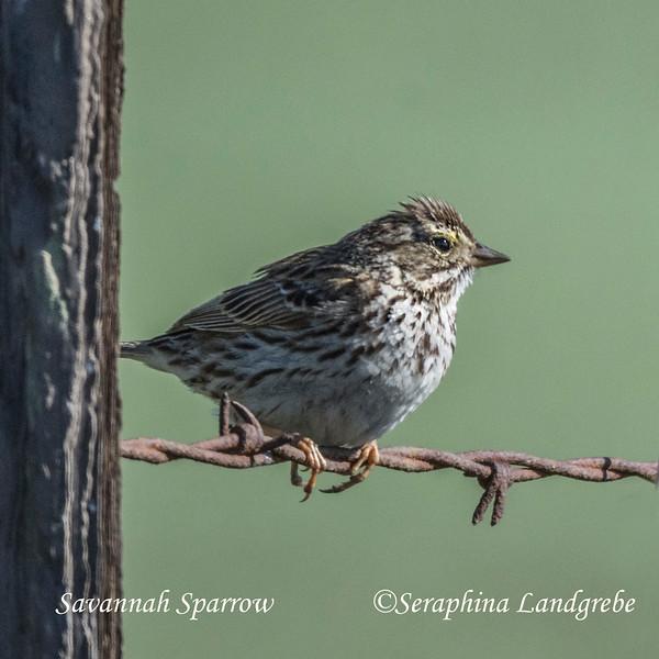 _DSC8162Savannah Sparrow.jpg