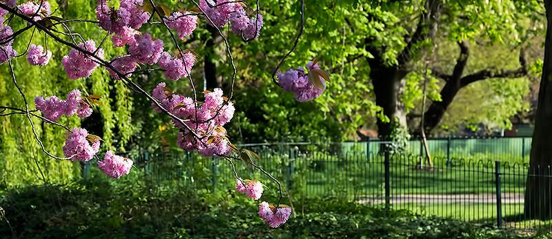 Lloyd Park spring blossom.jpg