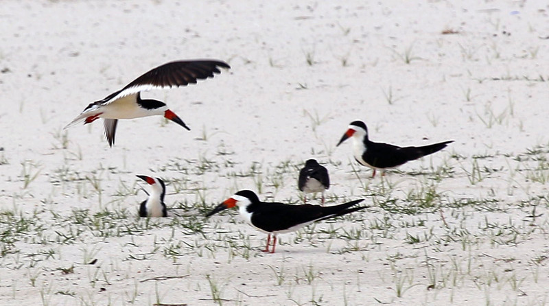 The beach in front of Davis house was more interesting.   These are Black Skimmers.