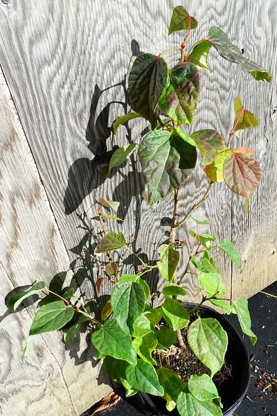 Disanthus cercidifolius 'Rikyu'