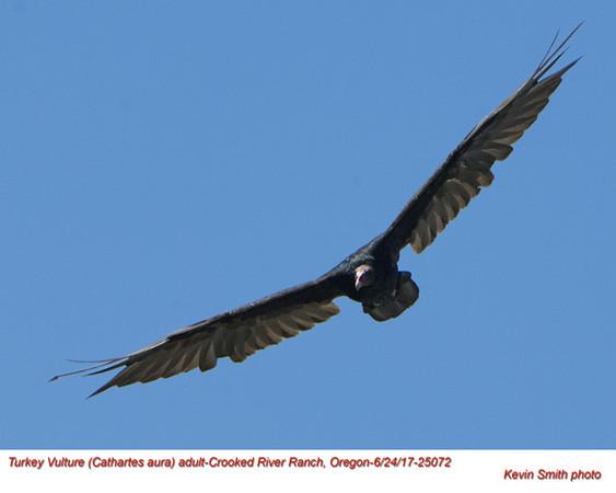 Turkey Vulture A25072.jpg