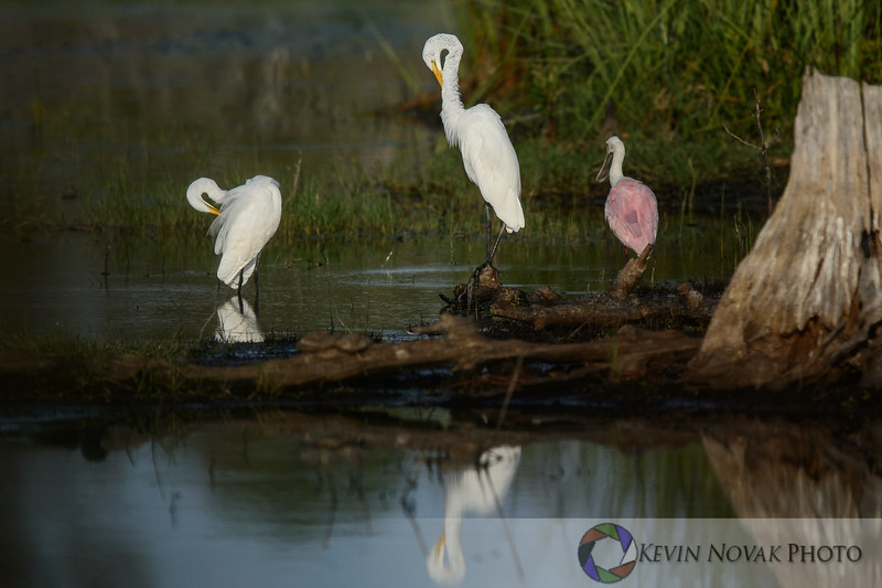 Two egrets and a roseate spoonbill grooming themselves.