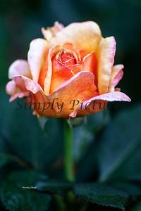 roses  030