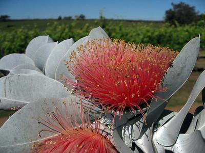 Plants of Western Australia