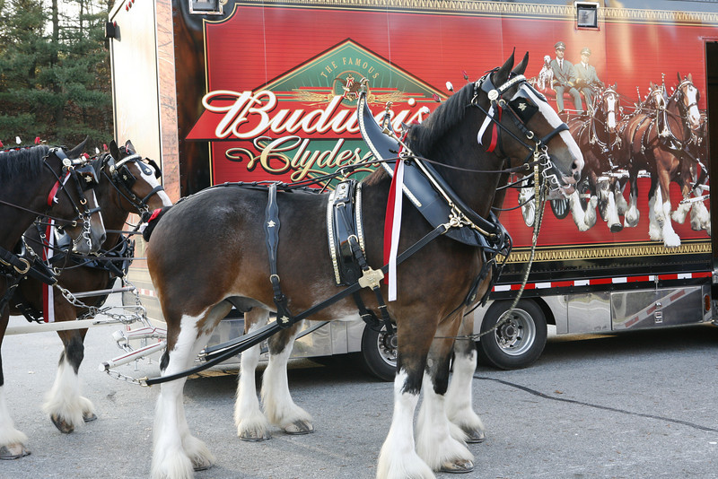 The lead pair of the Budweiser Clydesdales. This team is housed at this brewery, though they are on the road about 320 days of the year. Each is said to consume 25 quarts of feed, 50-60 pounds of hay, and 30 gallons of water each day.