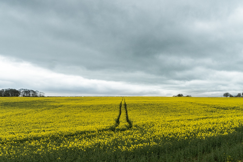 The Rapeseed Fields