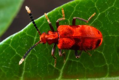 Anthicidae - Flower Beetles