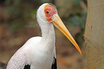 Egyptian Yellow Bill Stork Wildlife Photography